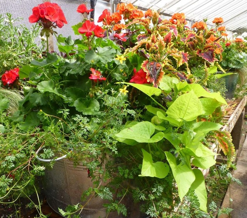 Containers and Hanging Baskets
