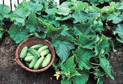 Cucumber Bush Pickle