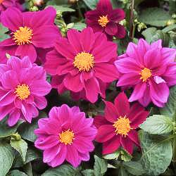 Dahlia Figaro Violet