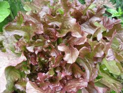 Lettuce Red Salad Bowl