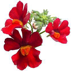 Nemesia Sunsatia Cranberry