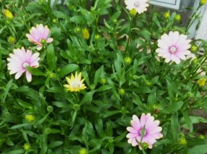 Osteospermum Summertime Sweet Blue Sunrise