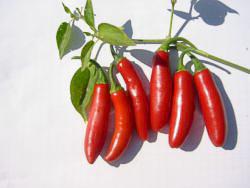 Pepper Serrano