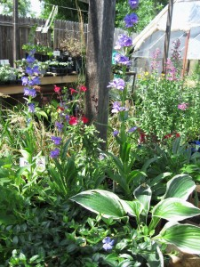 Offering Perennials for Shade And Sun