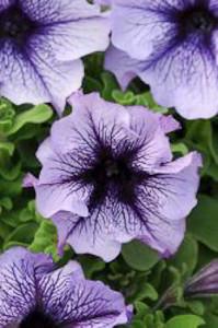 Petunia Daddy Blue