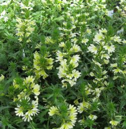 Scaevola Suntastic Yellow
