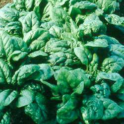 Spinach Tyee