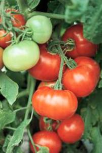 Tomato Super Fantastic