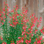 Penstemon Red Rocks