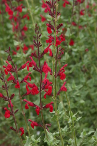 Salvia Windwalker Royal Red