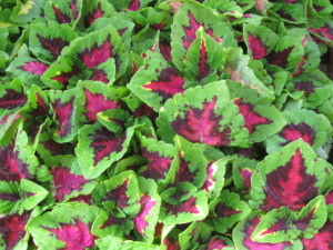 Coleus Kong Jr Rose