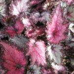 Jurassic Pink Shades
