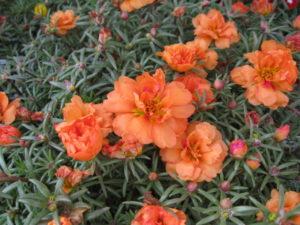 Sundial Orange