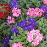 Verbena Mixed