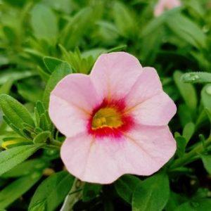 Aloha Tiki Soft Pink