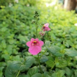 Darla Rose