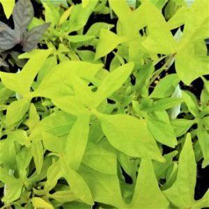 Floramia Limon