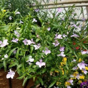 Fountain Lilac