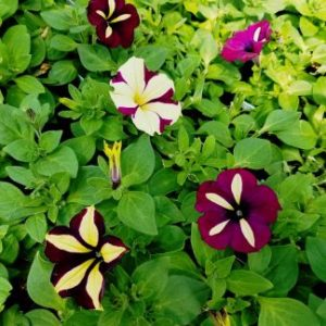 Crazytunia Frisky Purple