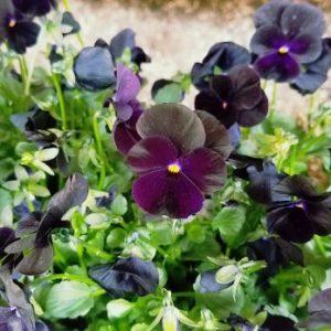 Sorbet Black Delight